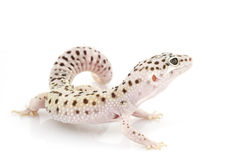 Gecko del leopardo Imagen de archivo