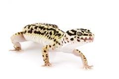 Gecko del leopardo Foto de archivo