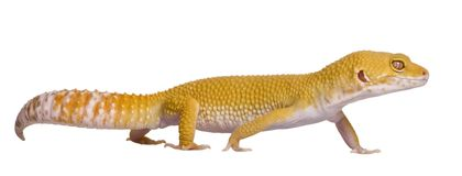 Gecko del leopardo di Sunglow, macularius di Eublepharis fotografia stock libera da diritti