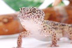 Gecko del leopardo, Eublepharis. Lucertola tropicale Immagine Stock Libera da Diritti