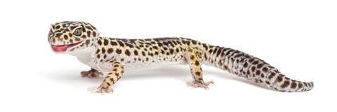 Gecko del leopardo, macularius de Eublepharis foto de archivo libre de regalías