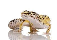Gecko del leopardo - macularius de Eublepharis Fotografía de archivo