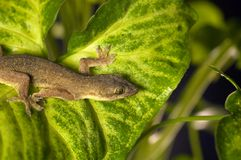 Gecko della Camera Fotografia Stock Libera da Diritti