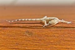 Gecko, der über ein Stück Holz geht Lizenzfreie Stockfotografie