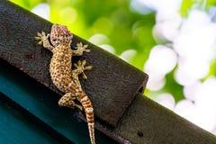 Gecko, der auf das dunkle Dach mit grüner Wand und grünem bokeh Hintergrund legt Lizenzfreie Stockfotografie