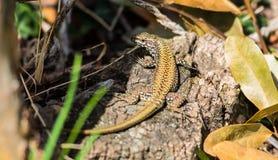Gecko, der auf Holz stillsteht lizenzfreies stockfoto