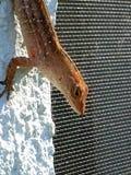Gecko, der in Florida kühlt stockbilder