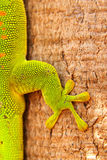 Gecko Detail Close Up Royalty Free Stock Images