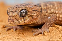 Gecko di Knobtail fotografia stock
