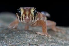 Gecko di meraviglia fotografia stock libera da diritti