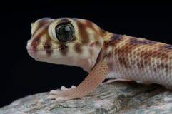 Gecko di meraviglia fotografia stock