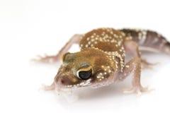 Gecko di scortecciamento (milii di Nephrurus) fotografia stock