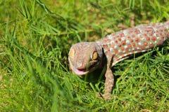 Gecko di Tokay Fotografie Stock Libere da Diritti