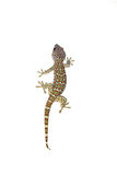 Gecko di Tokay Immagine Stock Libera da Diritti
