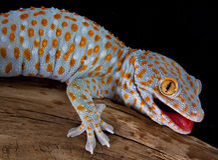 Gecko di Tokay con la bocca aperta Fotografie Stock Libere da Diritti