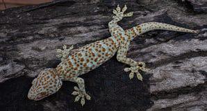 Gecko di Tokay immagini stock