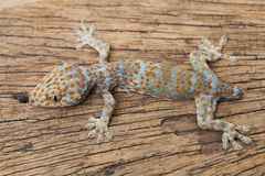 Gecko. A died gecko on wood Royalty Free Stock Photo