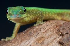 Gecko do dia de Mertens imagem de stock