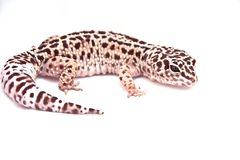 Gecko do leopardo Fotos de Stock Royalty Free
