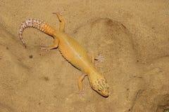 Gecko do leopardo (macularius de Eublepharis) Foto de Stock