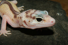 Gecko do leopardo (macularius de Eublepharis) Foto de Stock Royalty Free