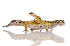 Gecko do leopardo - macularius de Eublepharis Fotos de Stock Royalty Free