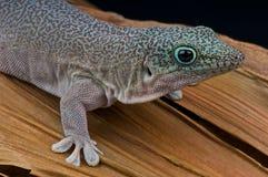 Gecko du jour de la position images stock