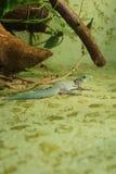 Gecko du jour de la position - standingi de Phelsuma photo stock