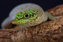 Gecko du jour de la position/standingi de Phelsuma images libres de droits