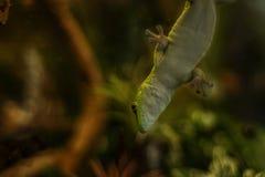 Gecko du Madagascar sur le verre dans une mini-serre images libres de droits