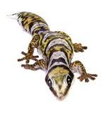 Gecko du velours de Castelnau photos stock
