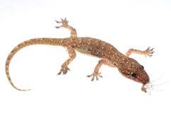 Gecko eat mosquito Stock Photo