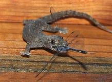 Gecko eating dragonfly,honduras, lizard royalty free stock photo