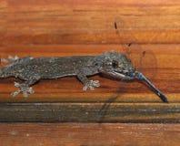 Gecko eating dragonfly,honduras, lizard Royalty Free Stock Photos