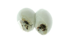 Gecko egg Stock Image
