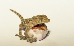 Gecko with egg Royalty Free Stock Photo