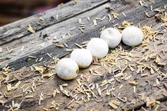Gecko eggs Stock Photography