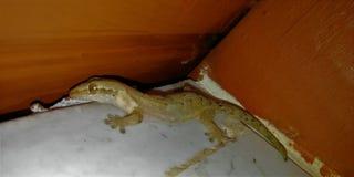 Gecko in einer Ecke lizenzfreies stockfoto