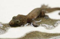 Gecko eingeschlossen auf klebrigem glue2 Stockfotografie