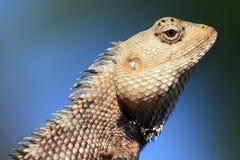 Elated lizard with blue background, Sri Lanka Royalty Free Stock Images