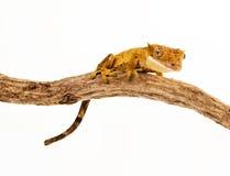 Gecko em uma filial Fotos de Stock Royalty Free
