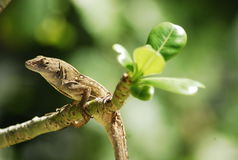Gecko en árbol Fotografía de archivo