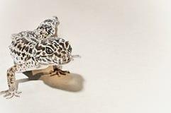 Gecko en el fondo blanco imagenes de archivo