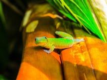 Gecko en Hawaï Photos libres de droits