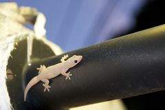 Gecko en la farola imagenes de archivo