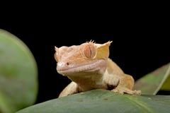 Gecko en la hoja Foto de archivo libre de regalías