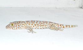 Gecko en la pared fotos de archivo libres de regalías