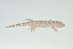 Gecko en la pared imagenes de archivo