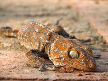 Gecko en Thaïlande Photos libres de droits