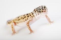 Gecko en un fondo blanco Fotos de archivo